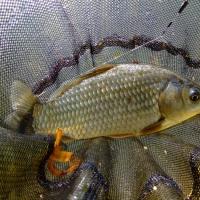 [实战必威体育直播客户端下载]钓鲫鱼如何应对白条鱼闹钩