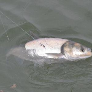钓鲢鱼的钓具钓点诱饵以及垂钓必威体育直播客户端下载