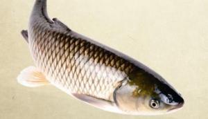 钓草鱼的施钓技艺与钓法必威体育直播客户端下载