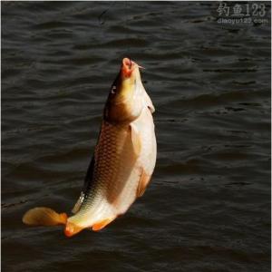 湖库钓鲤鱼先要了解鲤鱼的洄游路径
